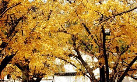 到了深秋,银杏树叶都黄了,金灿灿的蔚为壮观.