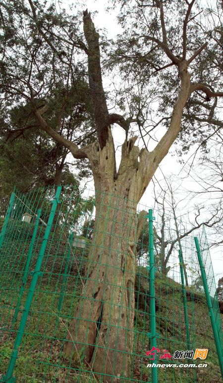 树木桥接方法图解